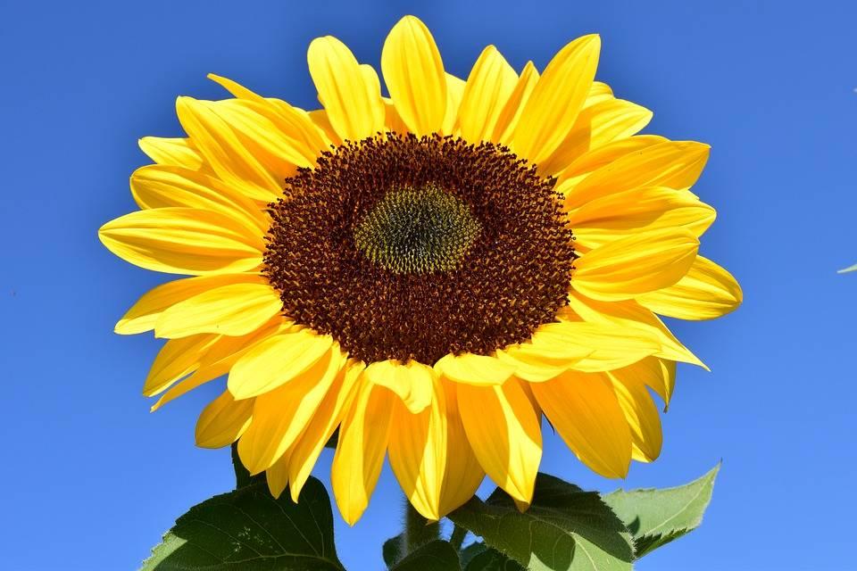 sun-flower-1627179_960_720