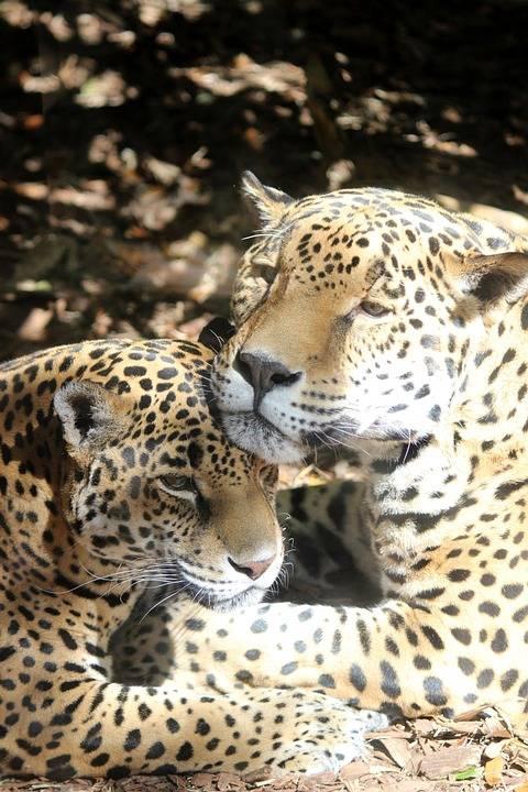 jaguar-663628_960_720